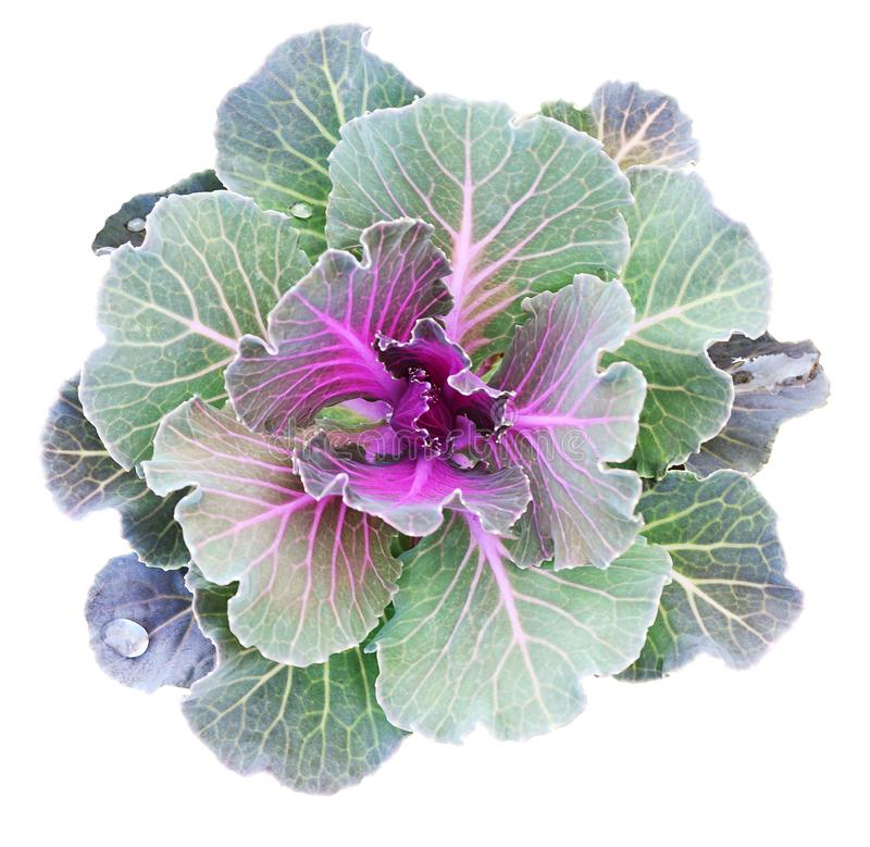 Free Ornamental Kale Isolated On White. Decorative Cabbage Stock Image - 136889531