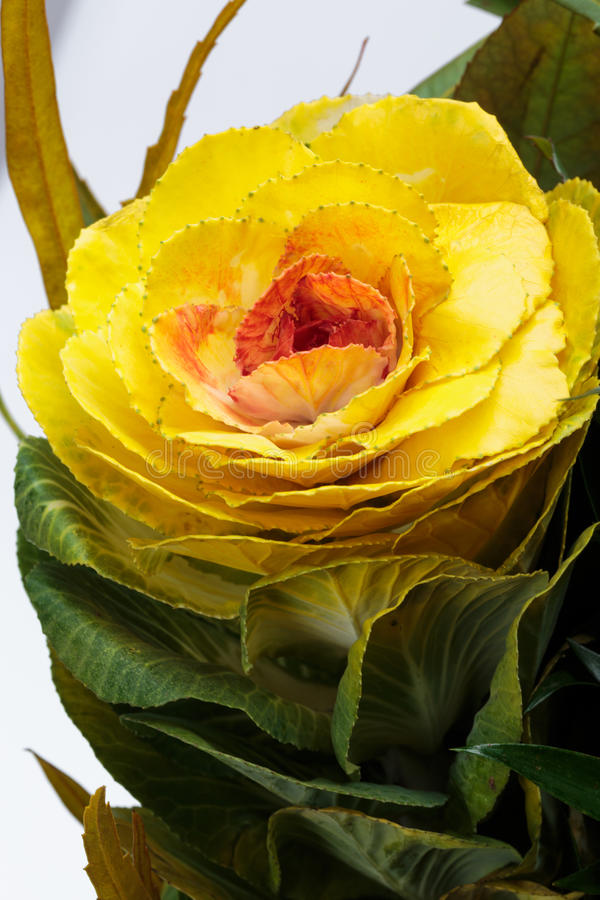 Ornamental kale. With yellow, orange, and green leaves (Brassica oleracea royalty free stock photos