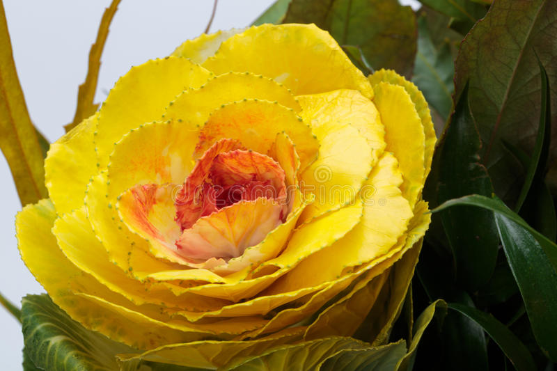 Ornamental kale. With yellow, orange, and green leaves (Brassica oleracea stock image
