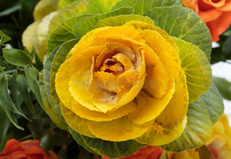 Ornamental kale. With yellow, orange, and green leaves (Brassica oleracea royalty free stock photography