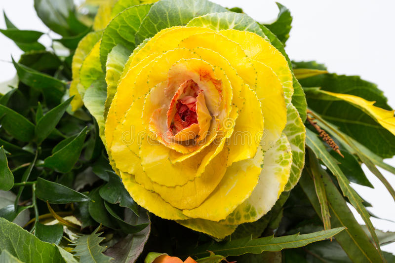 Ornamental kale. With yellow, orange, and green leaves (Brassica oleracea stock photo
