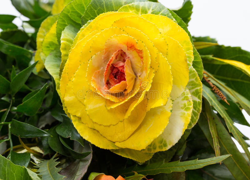 Ornamental kale. With yellow, orange, and green leaves (Brassica oleracea stock images