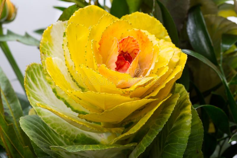 Ornamental kale with yellow, orange, and green leaves. Brassica oleracea royalty free stock photo