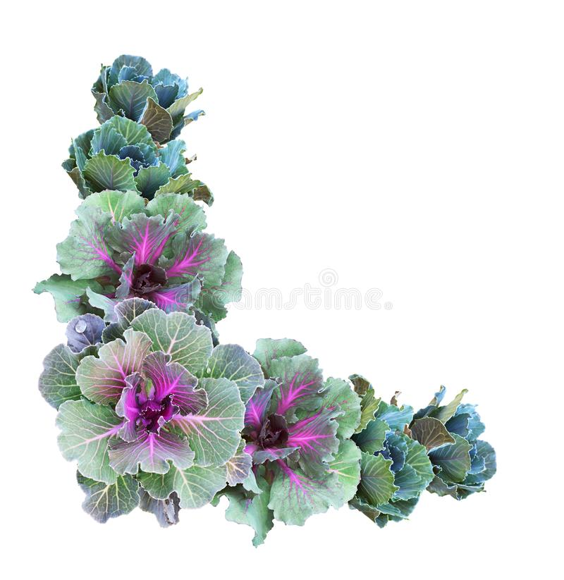 Free Ornamental Kales In A Corner Arrangement Stock Images - 137596774