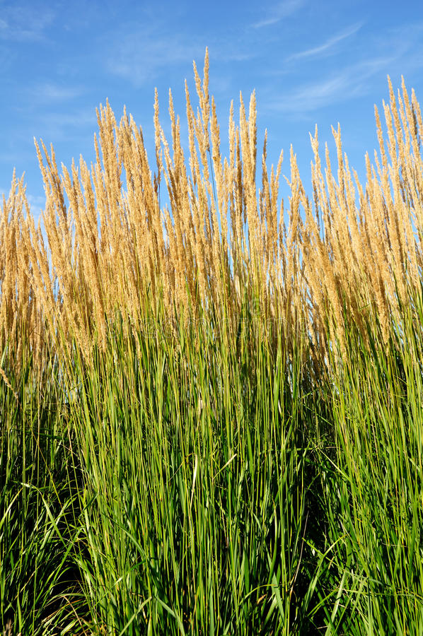Ornamental Karl Foerster Feather Reed Grass. (Calamagrostis acutiflora stock photography