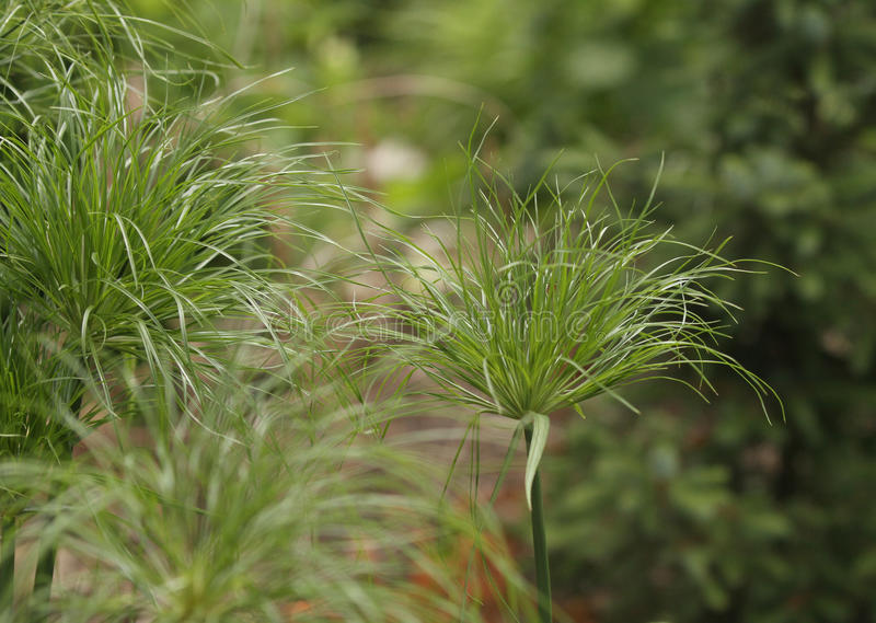 Ornamental King Tut Grass. With a puff of greenery at the top royalty free stock images
