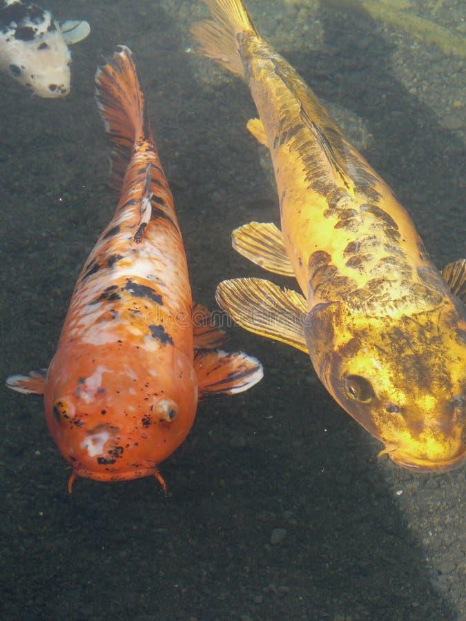 Ornamental koi carp fish stock photo image of animal for Ornamental pond fish inc