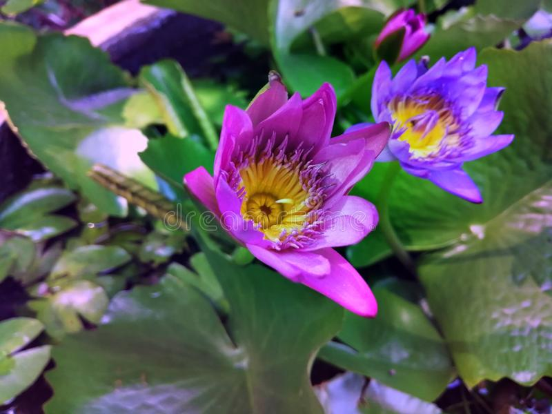 Ornamental lotus planted in a cement basin To decorate the front of the house or various places. Lotus royalty free stock photography