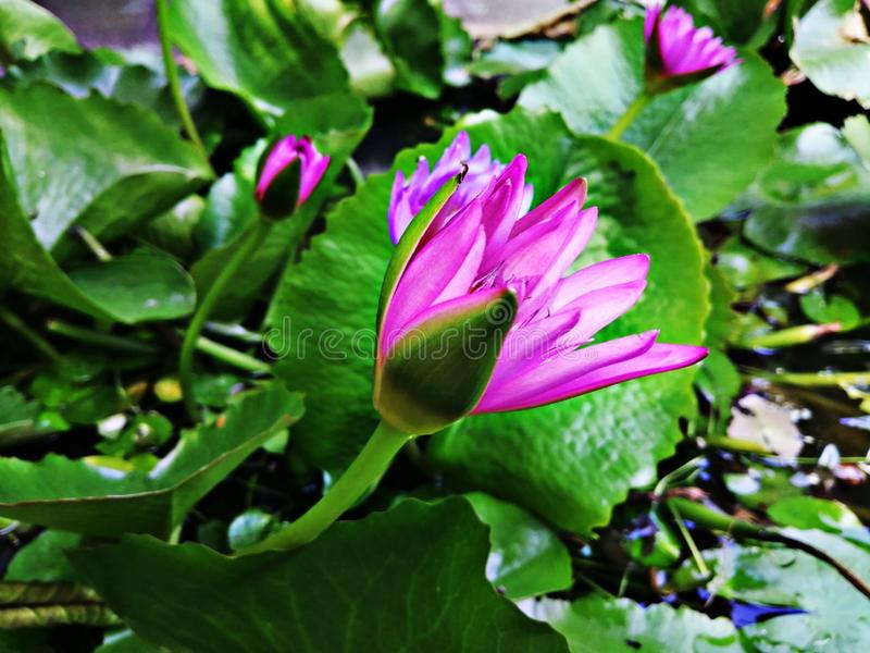 Ornamental lotus planted in a cement basin To decorate the front of the house or various places. Lotus royalty free stock photo