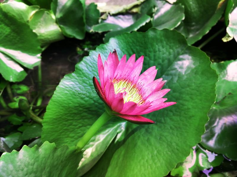 Ornamental lotus planted in a cement basin To decorate the front of the house or various places. Lotus royalty free stock image
