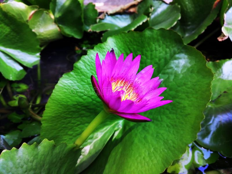 Ornamental lotus planted in a cement basin To decorate the front of the house or various places. Lotus stock image