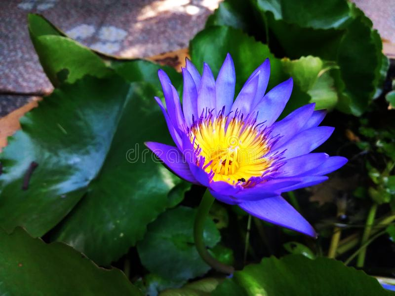 Ornamental lotus planted in a cement basin To decorate the front of the house or various places. Lotus stock images