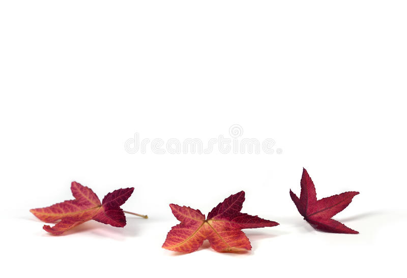 Ornamental maple leaves on white background. Three red maple leaves on white background with room for your message, perfect for autumn, Thanksgiving, Halloween royalty free stock image