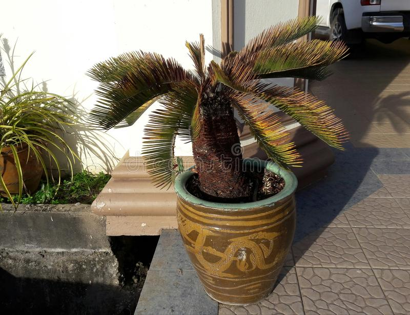 ornamental palm stock photo