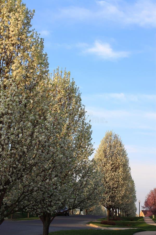 Ornamental Pear Trees Stock Photo