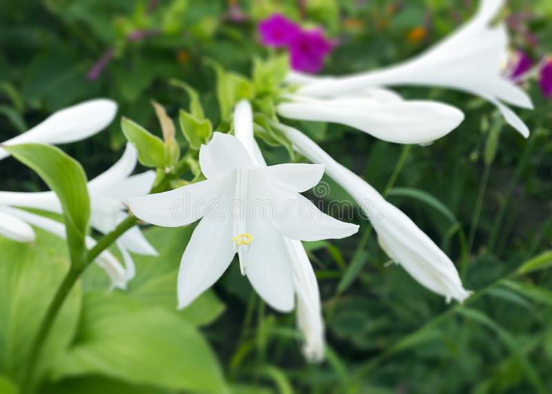 Ornamental plant for the host garden. A white lily blossomed on a bush. Beautiful white flower close-up. Gardening stock photos