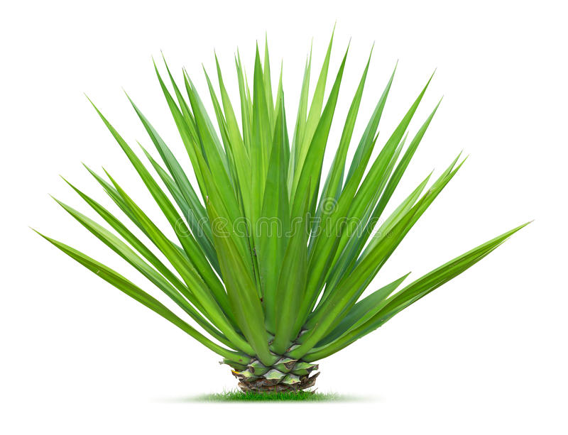 Download Ornamental plant stock image. Image of plant, isolated - 31395709