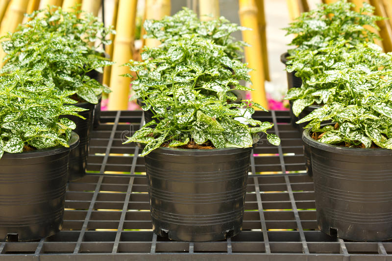 Ornamental plants. In plastic pots in the row royalty free stock images