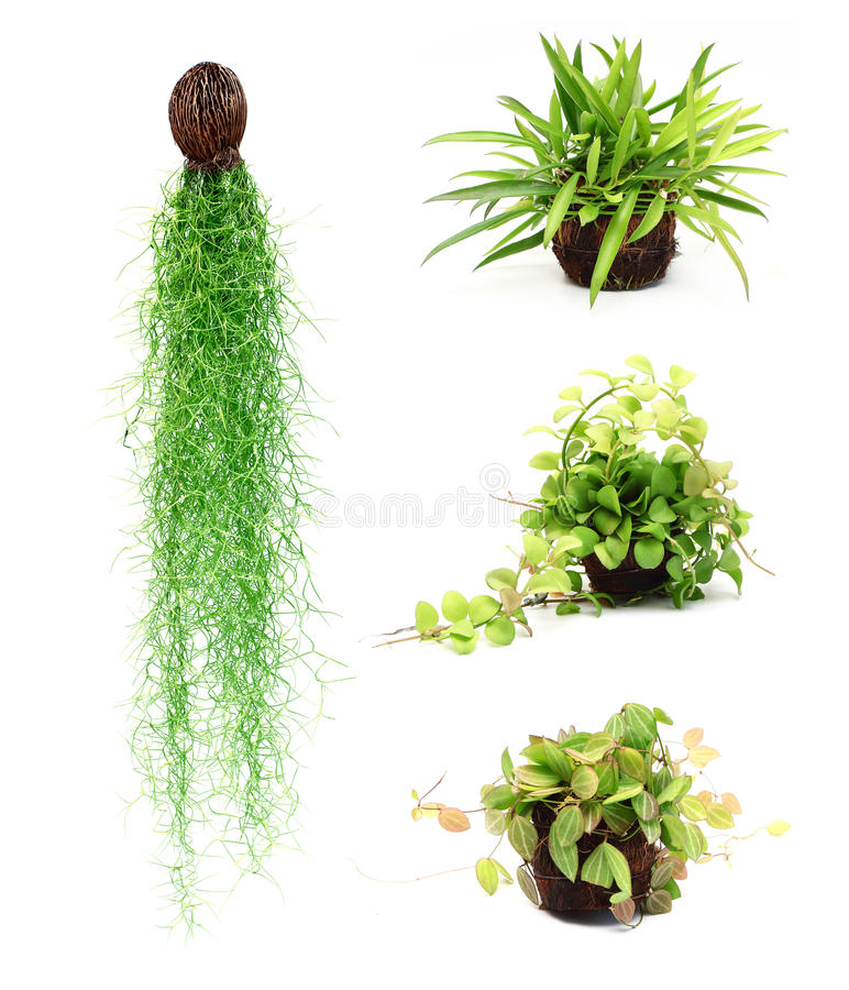 Download Ornamental plants stock photo. Image of agriculture, coconut - 27466148