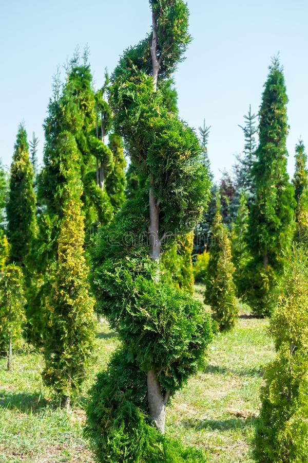 Ornamental plants cut with topiary or serpentine form. Tui.  royalty free stock photo