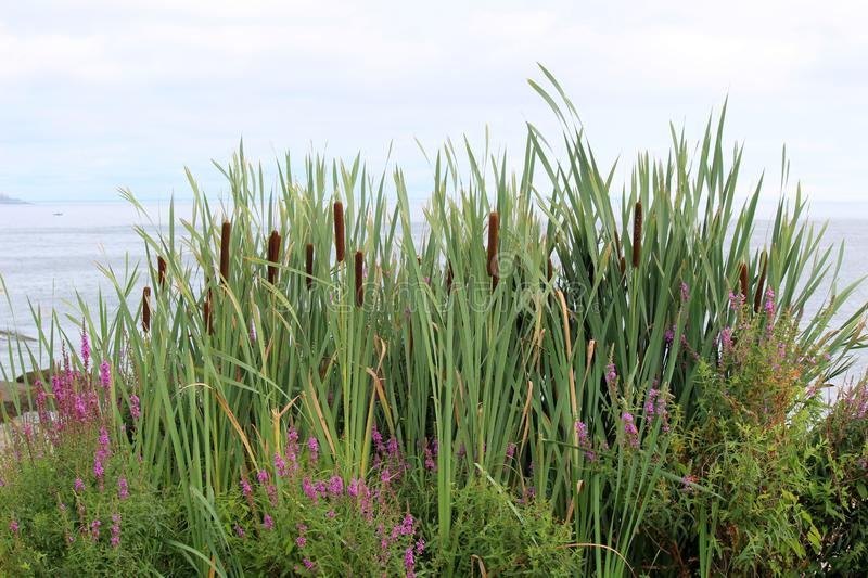 Ornamental sea grass, purple flowers and cat-o-nine-tails on edge of salt water beach. Pretty scene of tall ornamental grass, bright purple flowers and cat-o royalty free stock photography