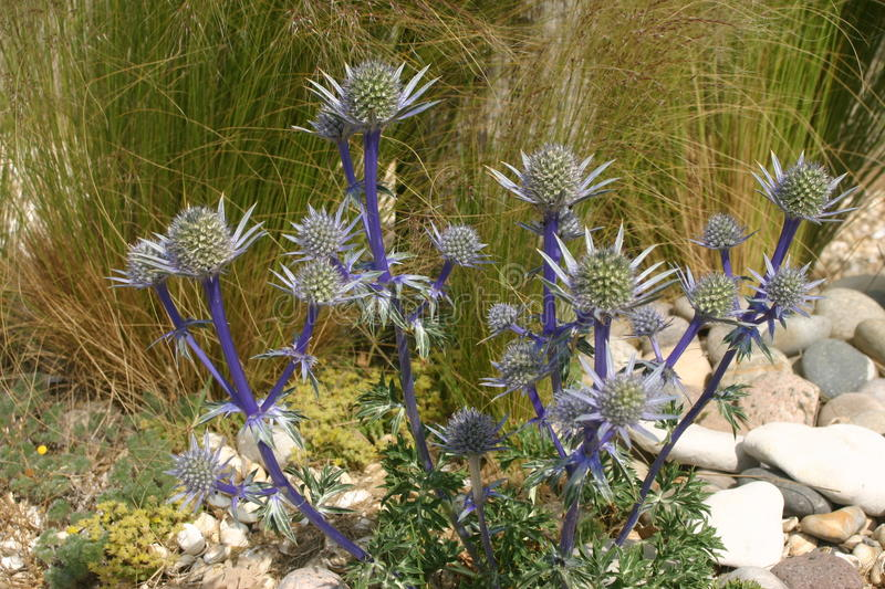 Sea holly. Ornamental sea holly (Eryngium) flowers growing in a flower bed by the beach. Background of grasses, gravel and large pebbles stock photo