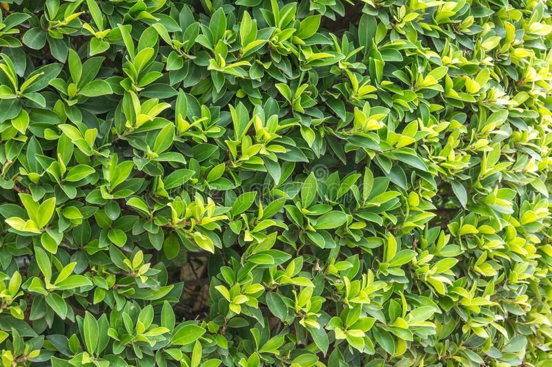 Ornamental shrubs wall shrubs stock photo image 54314987 for Arbustos decorativos