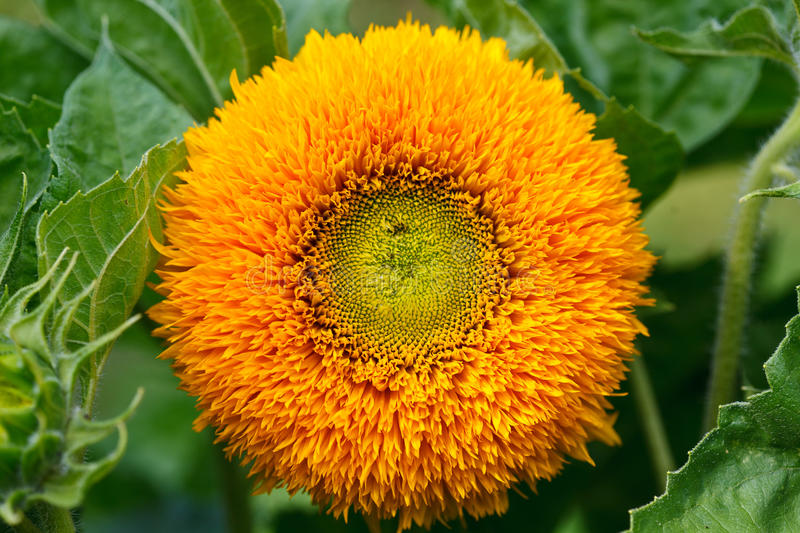 Download Ornamental sunflower stock photo. Image of closeup, nature - 20637450