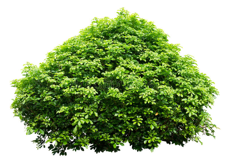 Download Ornamental tree stock photo. Image of hedge, isolated - 29879644