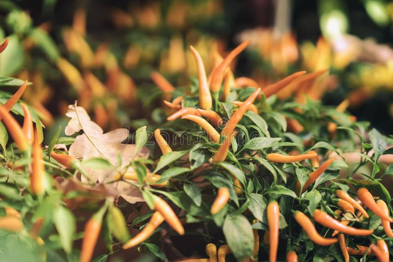 Ornamental yellow capsicum Annuum Peppers in autumn,outdoor, street flower shop fallen oak leaf stock images