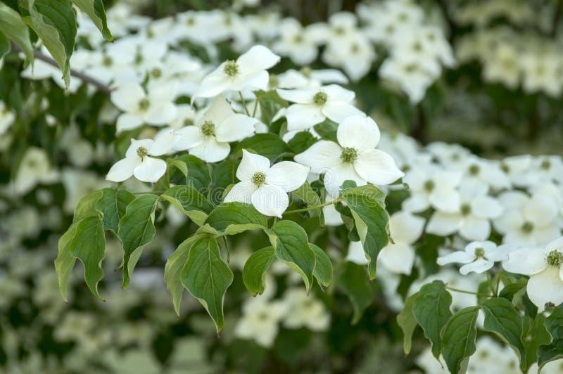 Ornamentale di kousa della cornina e bello arbusto di fioritura, fiori bianchi luminosi con quattro petali sui rami di fioritura fotografia stock