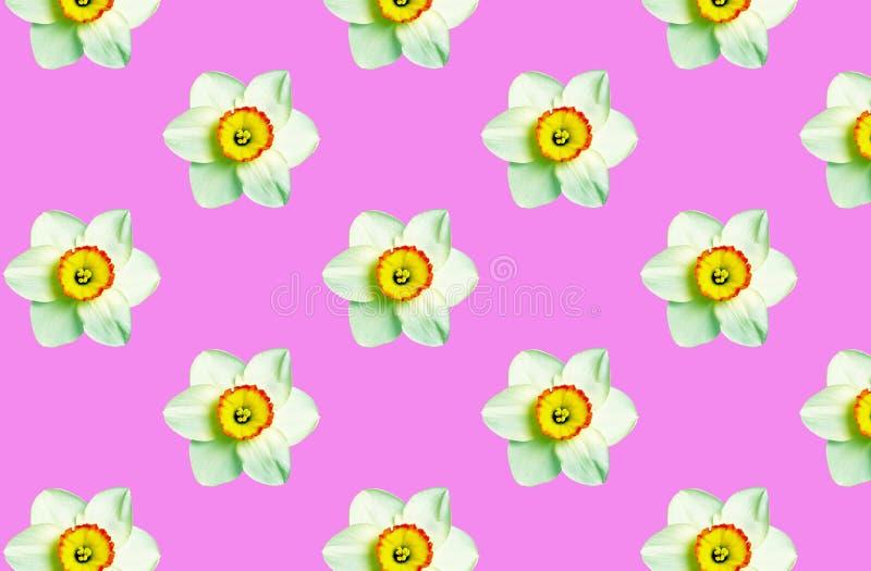 Ornamento del narciso dei fiori sul fondo di corallo di colore Priorit? bassa floreale naturale Modello dei fiori della molla fotografie stock libere da diritti