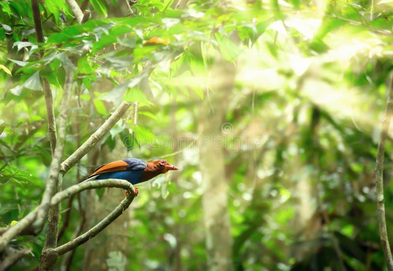 Ornata bleu d'Urocissa de pie de la Ceylan photographie stock libre de droits