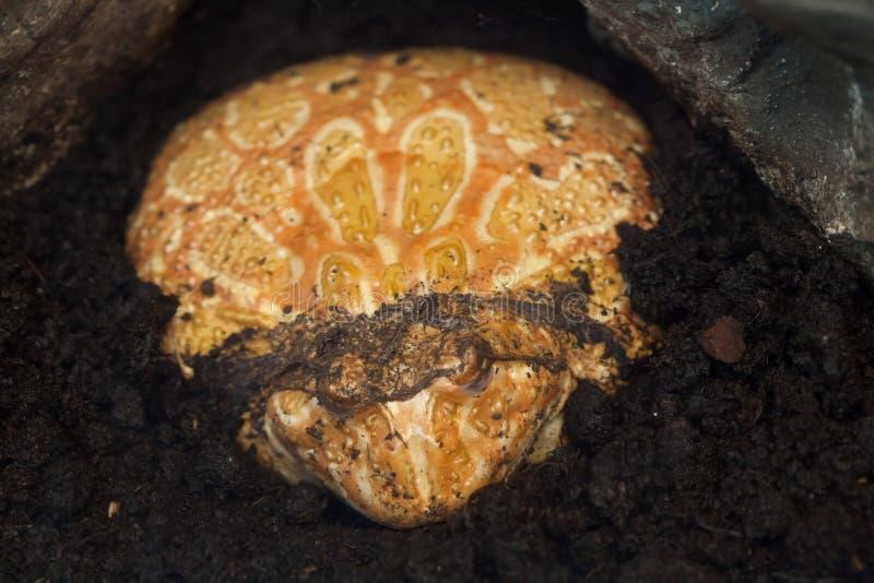 Ornata de cuernos de Ceratophrys de la rana de Argentina foto de archivo libre de regalías
