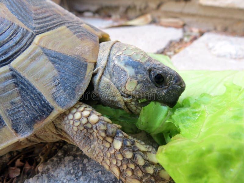 Ornate Box Turtle royalty free stock photos