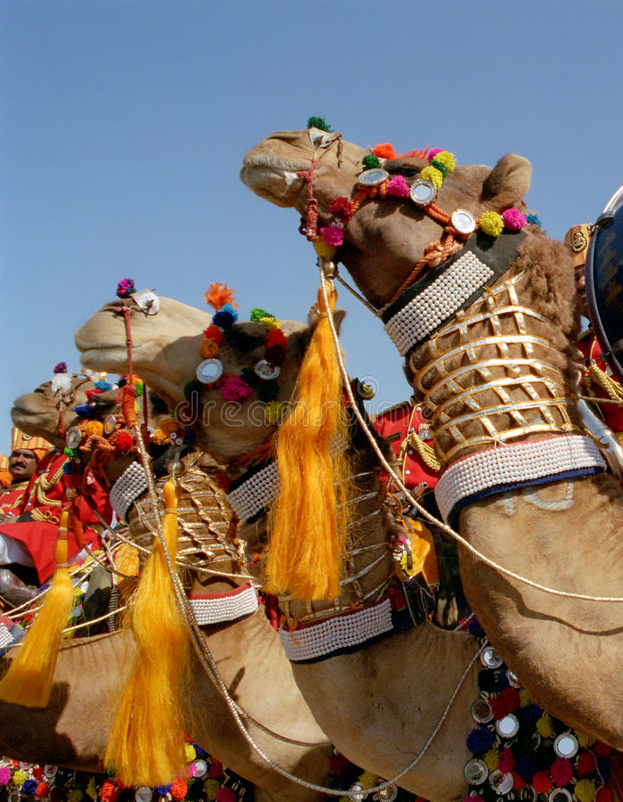 Ornate camels. To Desert Festival in Jaisalmer, western Rajasthan, India royalty free stock images