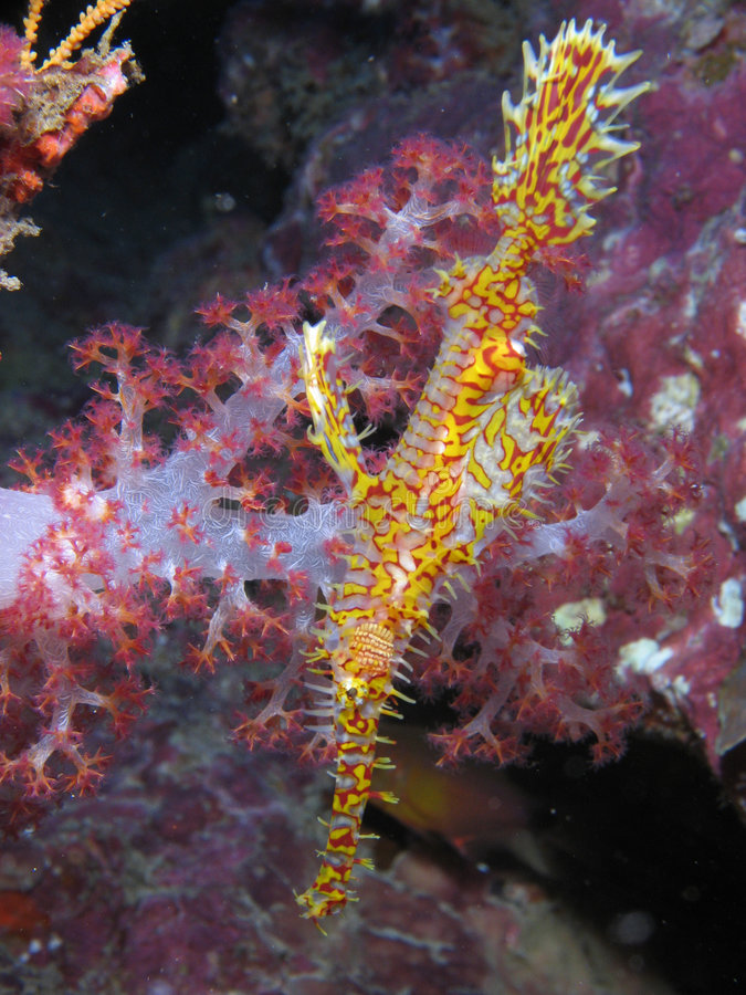 Free Ornate Ghost Pipefish Stock Photos - 4606763