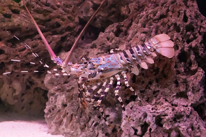 Ornate spiny rock lobster walking over a stone under water, a big crayfish from the tropical ocean stock photos