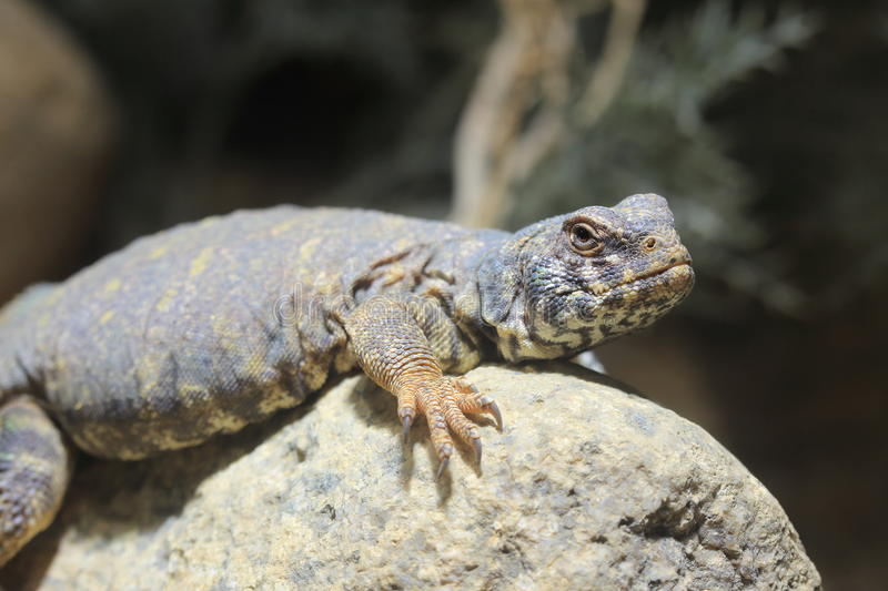 Ornate spiny tailed lizard. On the rock royalty free stock photos