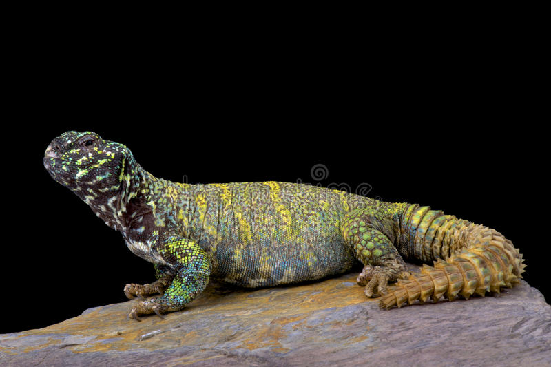 Ornate spiny-tailed lizard (Uromastyx ornata ornata). Uromastyx ornata ornata,the Ornate spiny-tailed lizard is one of the most colorful lizard species in the stock photos