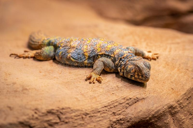 Ornate spiny tailed lizard, Uromastyx ornata, resting on a rock stock photography