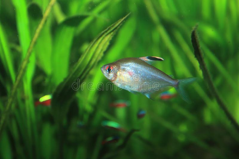 Ornate tetra. Floating in water royalty free stock photos