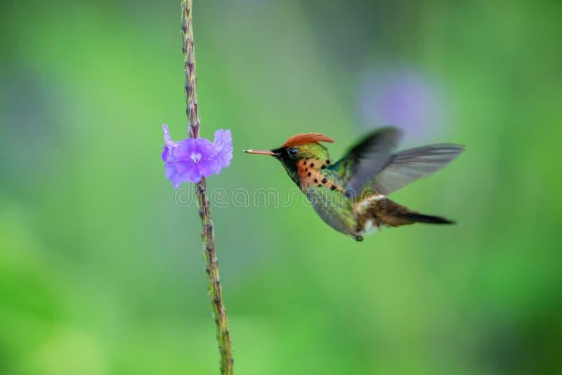 Ornatus empenachado de Lophornis de la coqueta que asoma al lado de la flor violeta, pájaro en vuelo, Trinidad and Tobago caribea fotografía de archivo libre de regalías