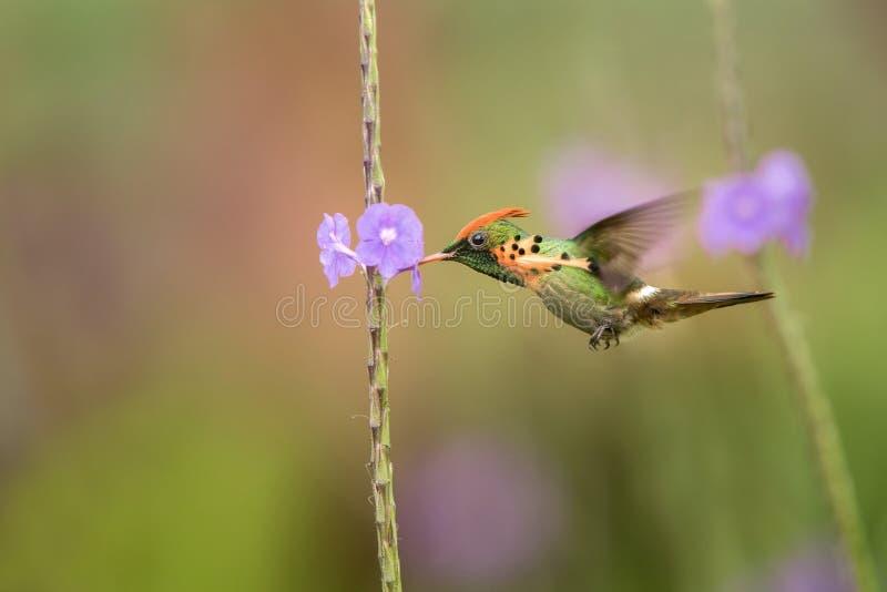 Ornatus empenachado de Lophornis de la coqueta que asoma al lado de la flor violeta, pájaro en vuelo, Trinidad and Tobago caribea fotografía de archivo