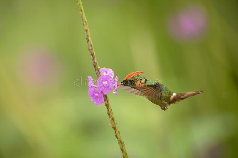 Ornatus empenachado de Lophornis de la coqueta que asoma al lado de la flor violeta, pájaro en vuelo, Trinidad and Tobago caribea foto de archivo libre de regalías