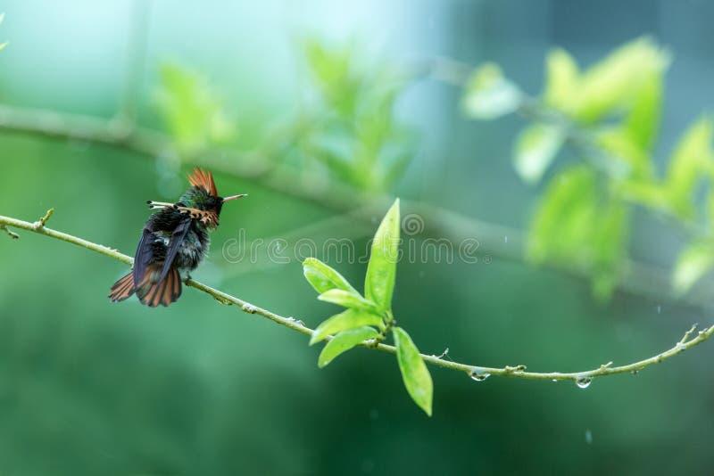 Ornatus empenachado de Lophornis de la coqueta que se sienta en la rama, pájaro del bosque tropical caribean, Trinidad and Tobago imagenes de archivo