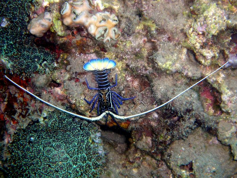 Ornatus tropical de Panulirus da lagosta imagem de stock
