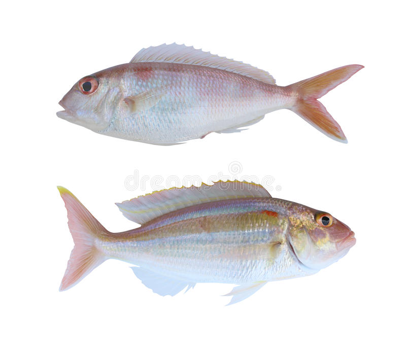 Ornety threadfin bream of sea animals in Gulf Thailand isolated. On white background and have clipping path royalty free stock image