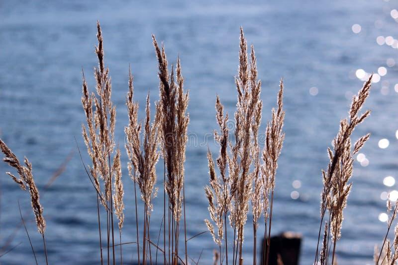 Ornez les epigeios de Calamagrostis d'herbe sur le fond de l'eau bleue photographie stock