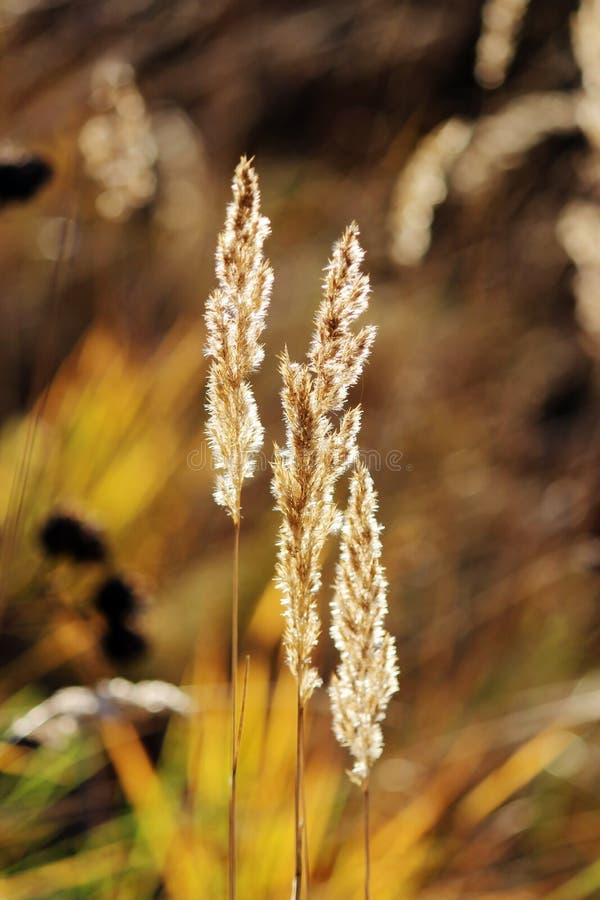 Ornez les epigeios de Calamagrostis d'herbe sur le fond jaune images stock